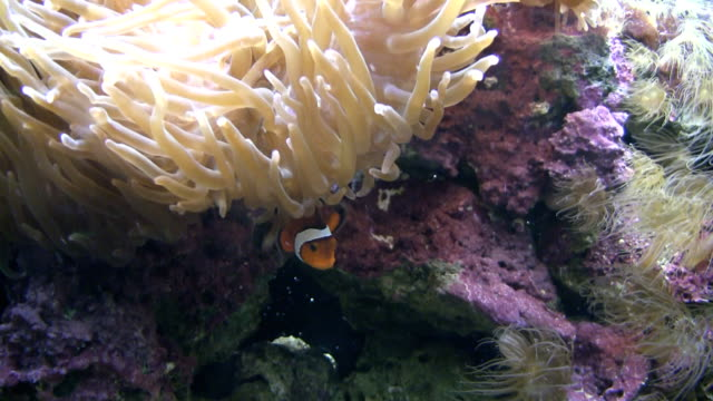 anemonefish - hiding stock videos & royalty-free footage