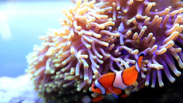 vidéos et rushes de poisson-clown - poisson clown à trois bandes