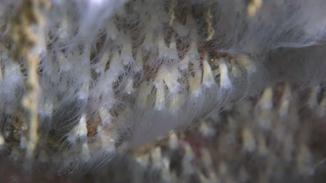 Anemones (currently unidentified). Arran. Underwater, North Atlantic