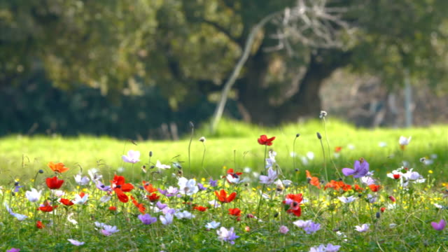 anemones blooming in spring, with wild flowers and mediterranean oak trees /galilee, israel - grass fed stock videos & royalty-free footage