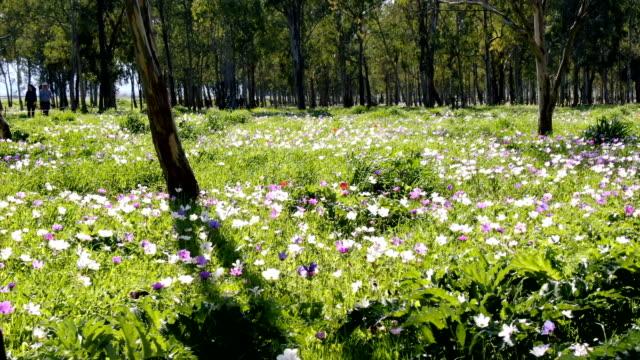 anemones blooming in spring, with wild flowers /galilee, israel - ranunculus stock videos & royalty-free footage