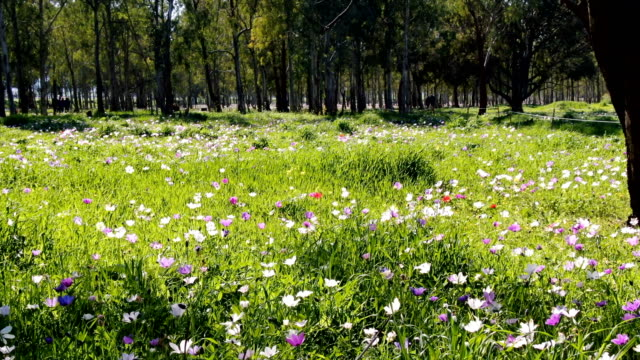 anemones blooming in spring, with wild flowers /galilee, israel - lush video stock e b–roll