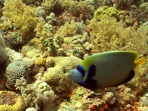 angel fish feed ms enters frame - invertebrate stock videos & royalty-free footage