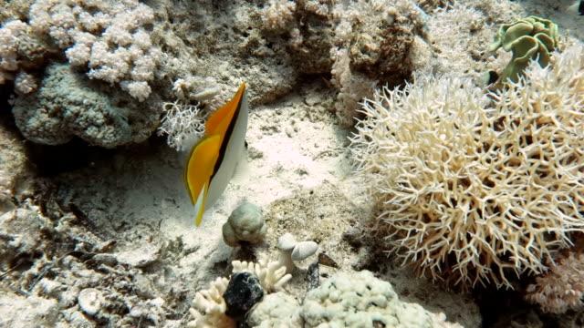 サンゴ礁における天使の魚 - エンゼルフィッシュ点の映像素材/bロール