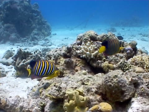 angel fish pair, foraging along edge of reef - foraging stock videos and b-roll footage