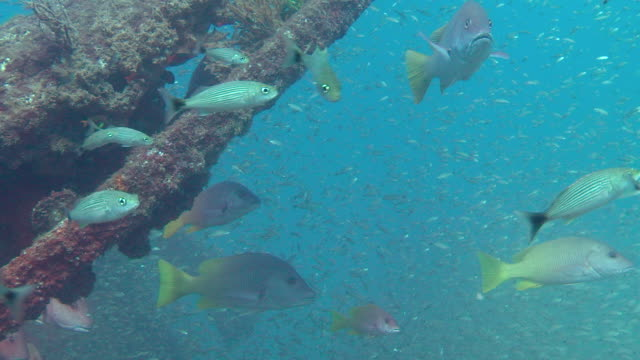 angel fish swim around the rusty wreckage of a ship. - sea of cortez stock videos & royalty-free footage