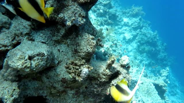 サンゴ礁における天使魚 - エンゼルフィッシュ点の映像素材/bロール