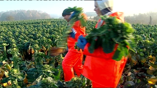 Angela Merkel could withdraw support for Britain's EU membership over freedom of movement T18121317 / Risby Park Farm EXT Workers cutting sprouts in...
