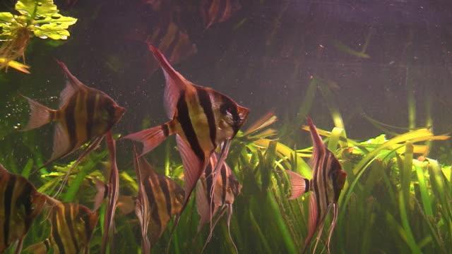 angelfish に大きな水族館 - エンゼルフィッシュ点の映像素材/bロール