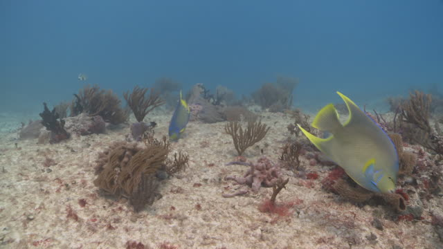 ms pov angelfish on reef / playa del carmen, isla mujeres, mexico - angelfish stock videos & royalty-free footage
