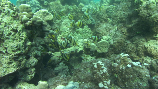 angelfish swim around a reef in the red sea. available in hd. - angelfish stock videos & royalty-free footage