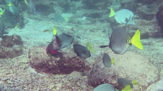 angelfish swim over a rocky seabed. - angelfish stock videos & royalty-free footage