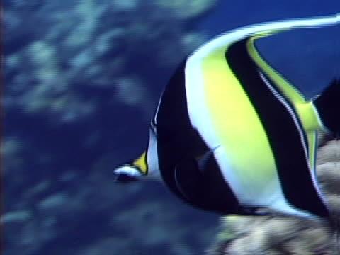 angelfish - tierisches exoskelett stock-videos und b-roll-filmmaterial