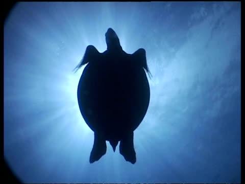 vídeos y material grabado en eventos de stock de ms angelic silhouette of green turtle swimming, sun in background, sipadan, borneo, malaysia - patrones de colores