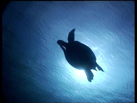 vídeos y material grabado en eventos de stock de ms angelic silhouette of green turtle swimming with sun in background, swims past camera, sipadan, borneo, malaysia - patrones de colores