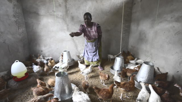 brac project, angelina shushu, raising chickens for eggs, gets about $200 per month. with grandson, james, in chicken coop in dodoma. - ドドマ点の映像素材/bロール