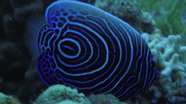 angle fish - angelfish stock videos & royalty-free footage