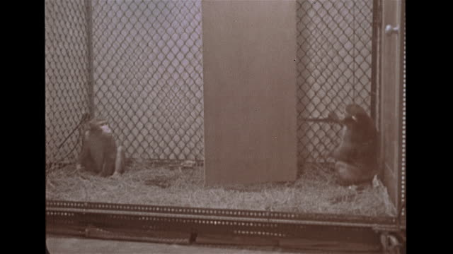 stockvideo's en b-roll-footage met angled ws jewish hospital medical center zi ws third floor window sepia dr aj berman opening cage wall between two isolation raised monkeys stalking... - geestelijke gezondheidszorg