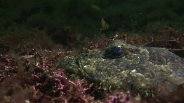 vidéos et rushes de anglerfish/monkfish (probably lophius budegassa or lophius piscatorius). arran. underwater, north atlantic - océan atlantique