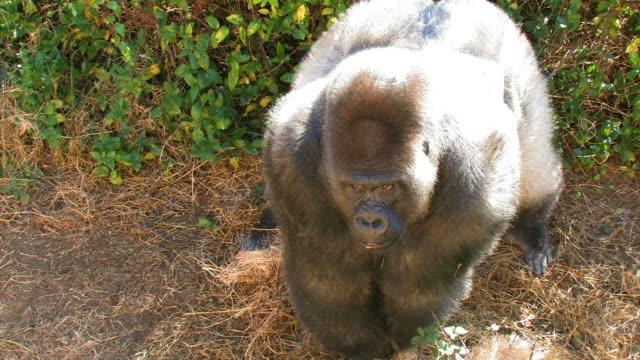 wütend gorilla suchen - gorilla stock-videos und b-roll-filmmaterial