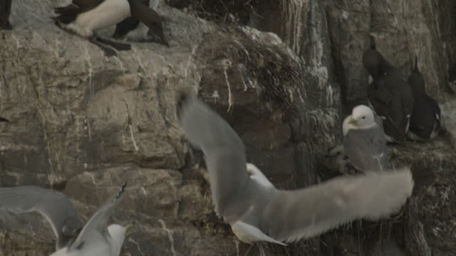 angry kittiwake drags clumsy guillemot chick (uria aalge) from cliff, farne islands, england, farne islands, england - northumberland coast stock videos & royalty-free footage