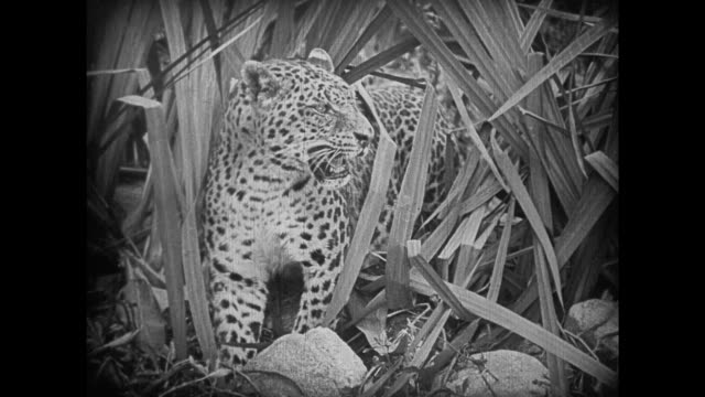 vídeos de stock e filmes b-roll de 1925 angry leopard comes close to kayaking explorers on jungle river - 1925
