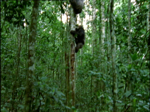 Angry male chimp chases another and thrashes branches about in forest, Uganda