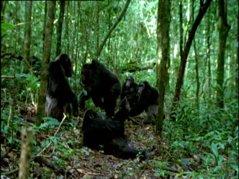 angry male chimp chases others through forest, uganda - threats stock videos and b-roll footage