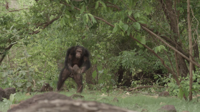 angry male chimpanzee (pan troglodytes) throws termite mound, senegal - primate stock videos and b-roll footage