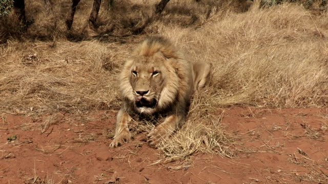 Angry male lion charging towards camera