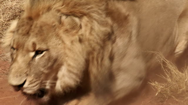 angry male lion charging towards camera - aggression stock videos & royalty-free footage
