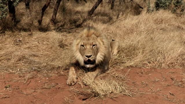 vidéos et rushes de angry male lion charging towards camera - lion