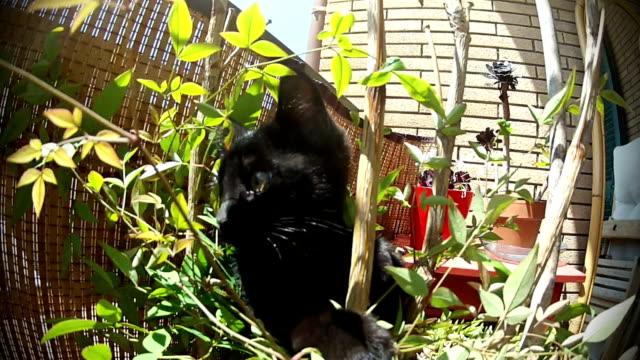 Wütende verspielten Schwarze Katze Anschläge die Kamera