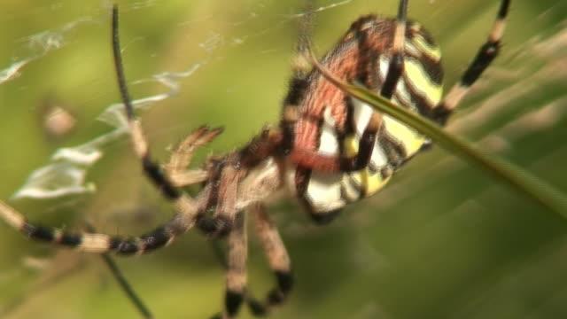 vídeos de stock e filmes b-roll de zangado tigre aranha - invertebrado