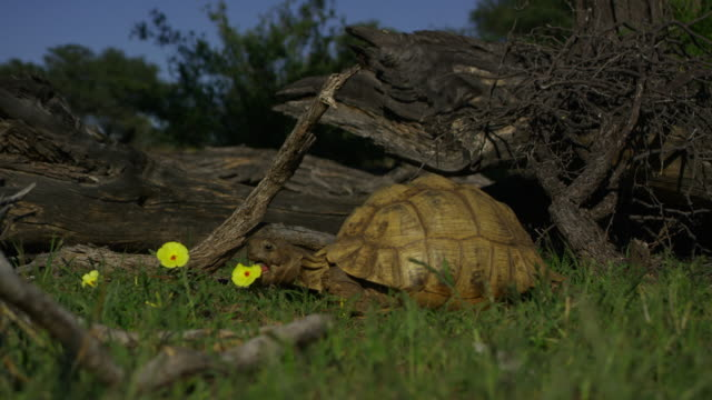 angulate tortoise grazes in profile then walks forward to eat flower - 30 sekunden oder länger stock-videos und b-roll-filmmaterial