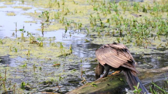 stockvideo's en b-roll-footage met amerikaanse slangenhalsvogel duiken in vijver - cormorant