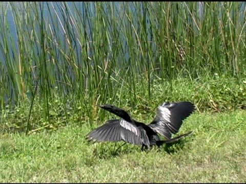 anhinga drying his wings - spread wings stock videos & royalty-free footage