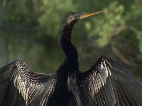 anhinga drying its feathers - aquatic organism stock videos & royalty-free footage