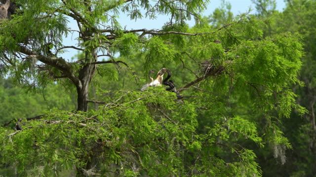 Schlangenhalsvogel Fütterung Baby im nest. Zypresse-Sumpf, South Carolina, USA