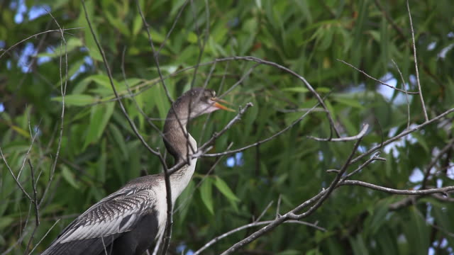 Schlangenhalsvogel in die Everglades