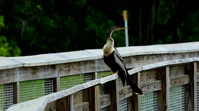 anhinga perched on handrail,  looking around and preening - preening animal behavior stock videos & royalty-free footage