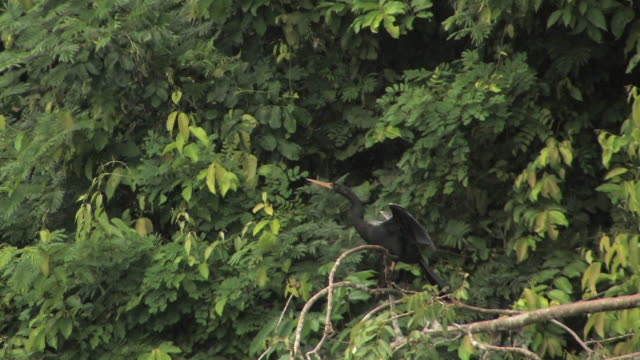 vídeos de stock, filmes e b-roll de ws anhinga perching on branch and spreading wings in rainforest in manu national park / peru - arbusto tropical