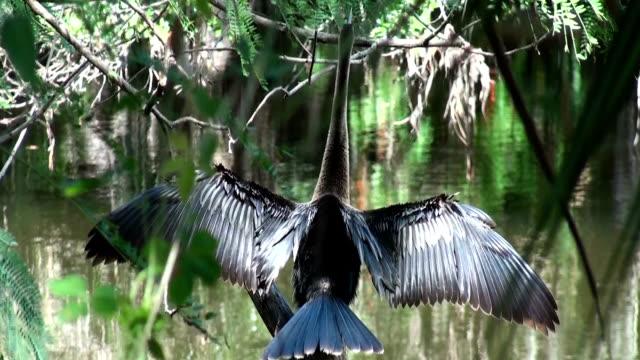 anhinga, snake bird drying wings in the sun - full hd format bildbanksvideor och videomaterial från bakom kulisserna