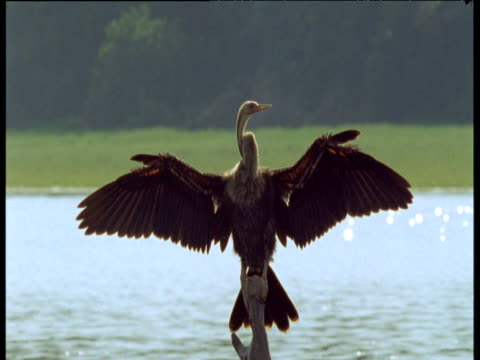 anhinga sunbathes and preens with wings outstretched, - south america stock videos & royalty-free footage