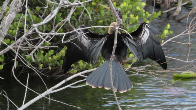 anhinga with spread wings - pjphoto69 stock videos & royalty-free footage