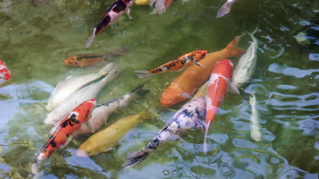 animal behavior koi carp fish huddle together - animal behavior stock videos & royalty-free footage