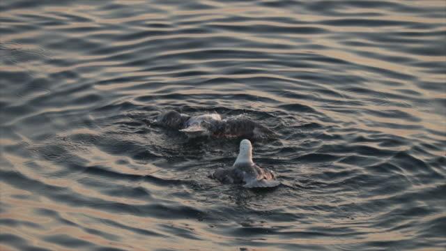 animal behavior: north sea fulmar cleaning - 翼を広げる点の映像素材/bロール