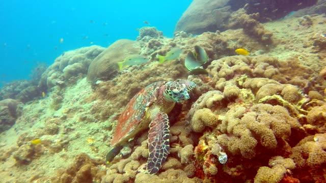 Comportamiento de los animales - peligro de extinción especie tortuga de Carey (Eretmochelys imbricata).