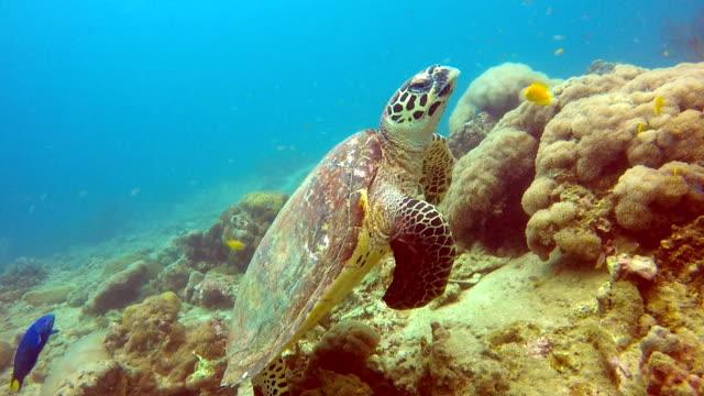 animal behaviour - critically endangered species hawksbill sea turtle (eretmochelys imbricata). - iucn red list stock videos & royalty-free footage