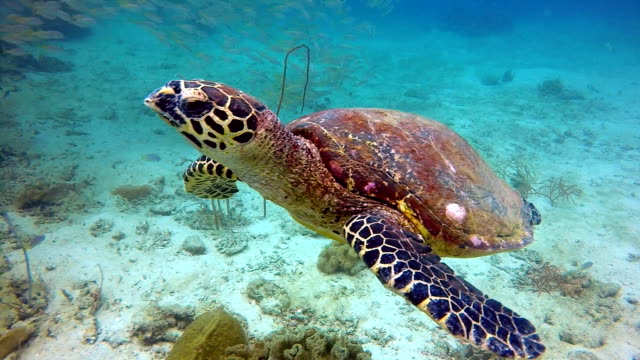 animal behaviour - critically endangered species hawksbill sea turtle (eretmochelys imbricata). - reef stock videos and b-roll footage